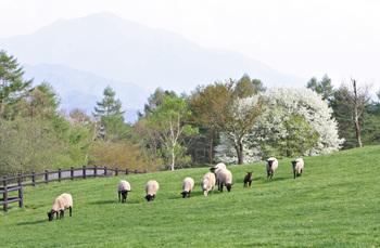 8g_sheep