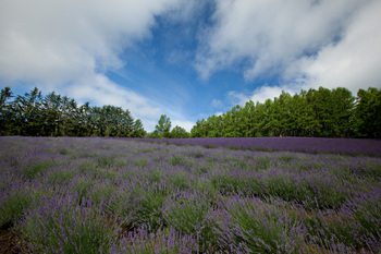 7traditional_lavender_field