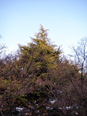 Himarayasugi