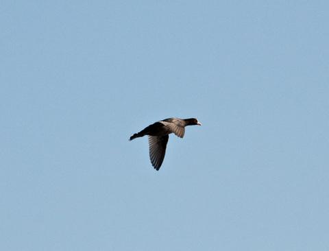 Ooban_flying
