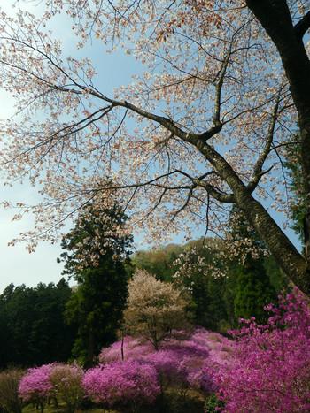 Sakuramurasakitsutsuji
