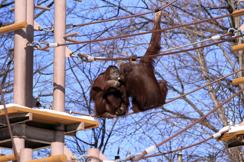 Two_orangutans_eat_the_snow