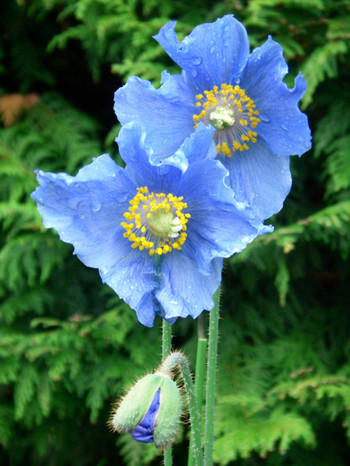 Bluepopy