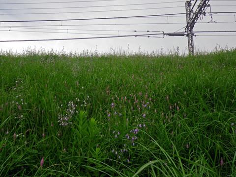 Wild_flower_field